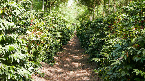 guatemala plantation