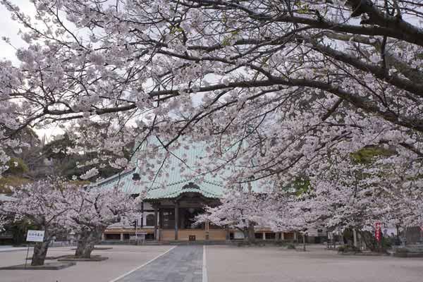 鎌倉を巡るならここがおすすめ!桜の有名スポットや穴場をご紹介!