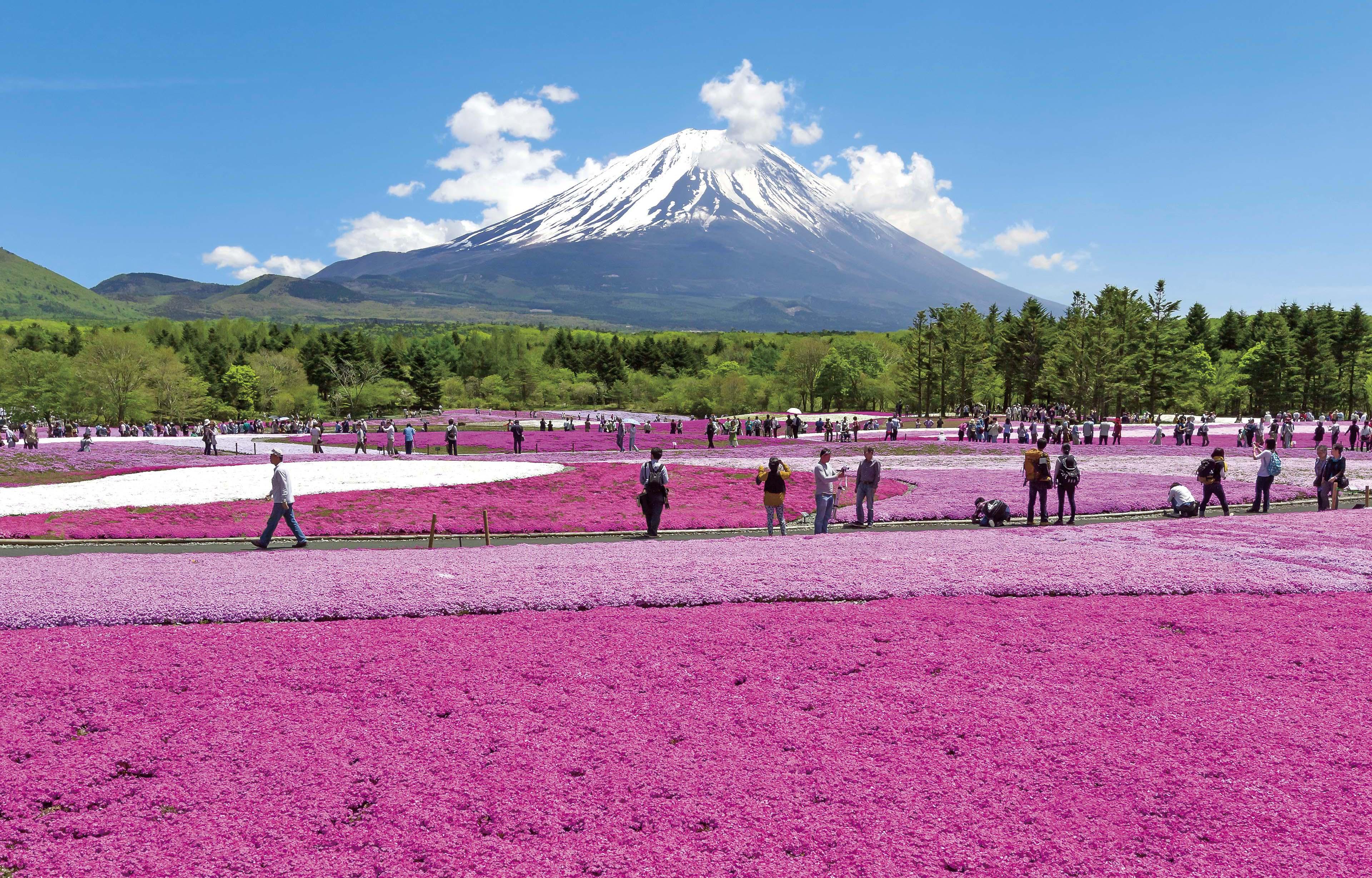 富士芝桜まつり2017の見頃や日程はいつ?富士山を背景にした絶景!