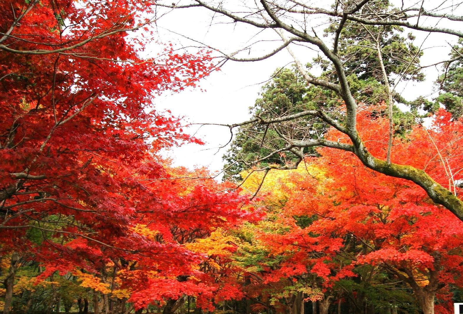 滋賀県の紅葉おすすめスポットのご紹介!ライトアップにメタセコイアは黄金色
