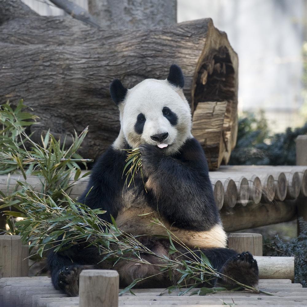 上海動物園でパンダに会う!アクセスに入場料・開園時間や見どころを解説!