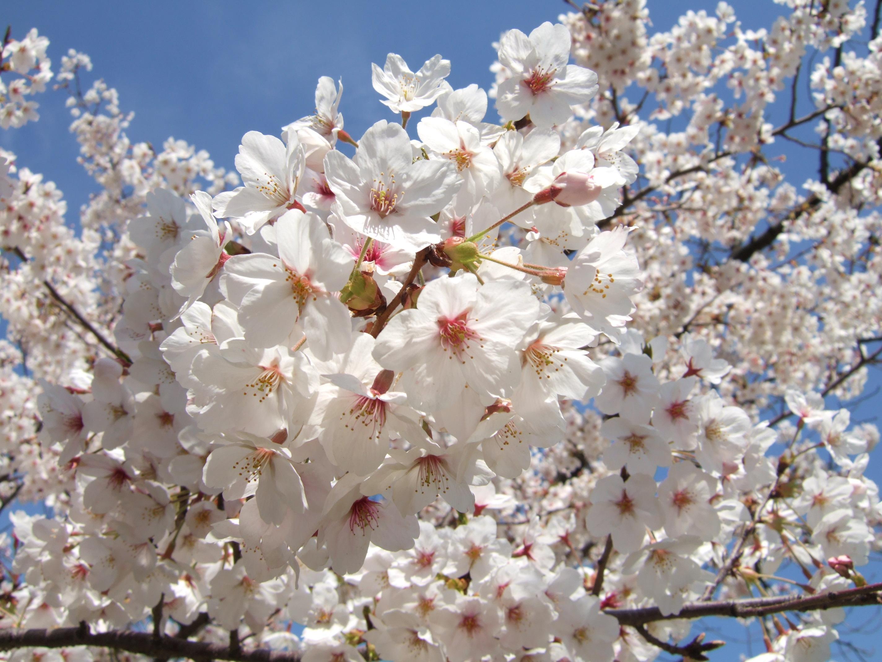 東京都内の桜の名所おすすめランキングBEST17!穴場情報もあり!