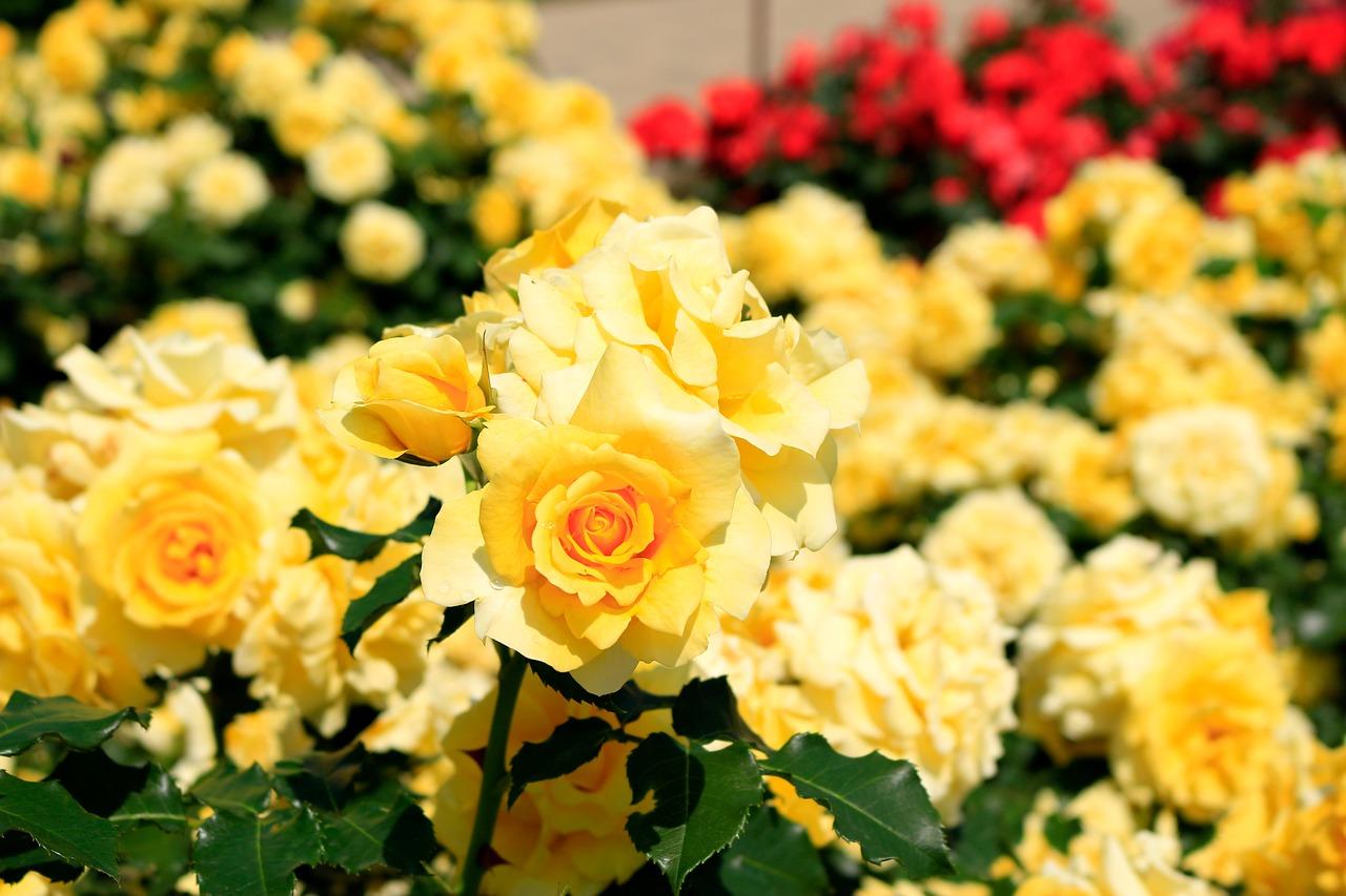 山中湖花の都公園で季節の花を楽しむ!イルミネーションやダイヤモンド富士も見所