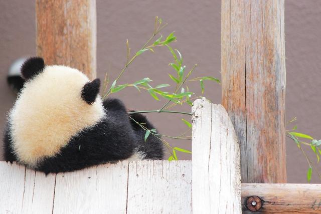 上野動物園パンダ!赤ちゃんの名前応募方法は?公開日はいつ?