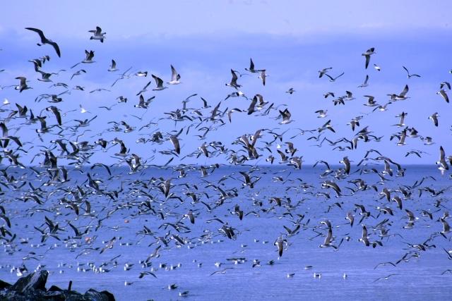 蕪島の観光おすすめスポットを紹介!ウミネコの舞う美しい風景も見もの!