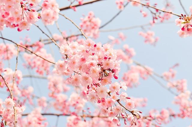 名古屋の桜の名所をご紹介!人気スポットや見頃にライトアップもあり!
