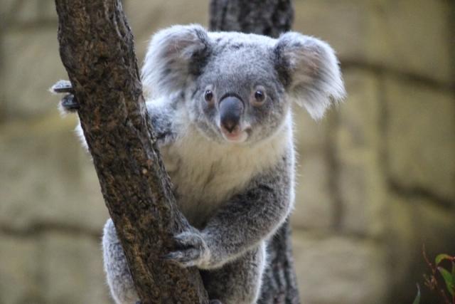 コアラに会える動物園は?日本にある全てのスポットを一挙ご紹介!