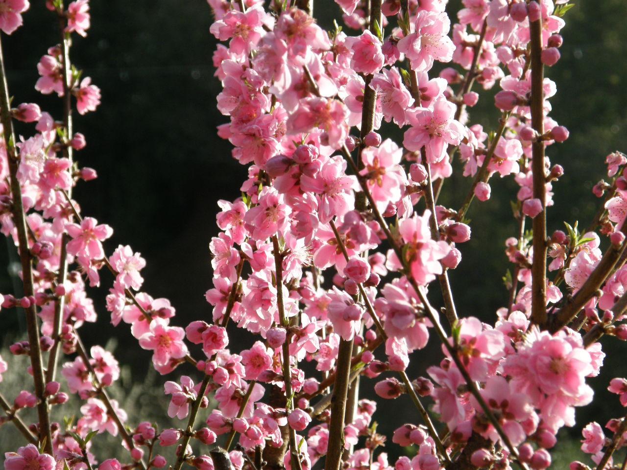 花桃の里は阿智村のおすすめスポット!花桃まつりの時期や混雑状況も調査!