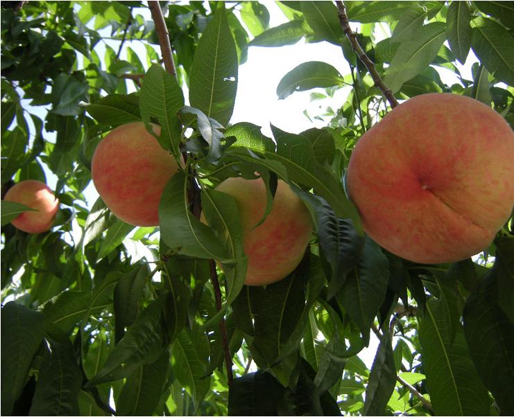 慈雲寺は糸桜が有名な絶景の寺院!桜の見頃・御朱印・アクセスを徹底リサーチ