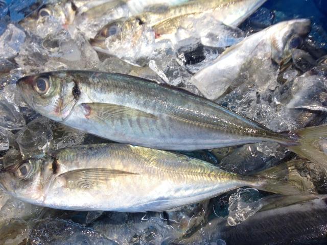シマアジは刺身にすると絶品?旬の時期や釣り方・レシピについても!