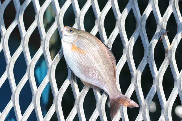 塩焼きにすると絶品の魚ウミタナゴ!釣り方や捌き方・おいしい料理をご紹介!