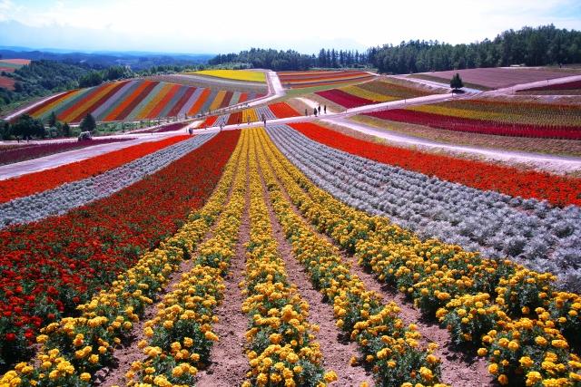 四季彩の丘は北海道で人気の観光スポット!楽しみ方や見頃の時期は?