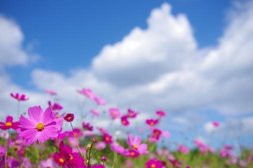 白木峰高原(長崎)のコスモスは一度は見るべき!開花・見頃の時期やアクセスは?